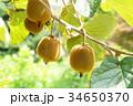 果物 果実 キウイの写真 34650370