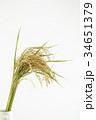 稲穂 稲 穀物の写真 34651379