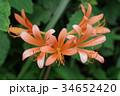 キツネノカミソリ 34652420