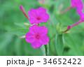 オシロイバナ 34652422