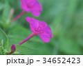 オシロイバナ 34652423
