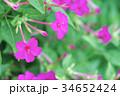 オシロイバナ 34652424