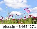 コスモス(秋桜) 34654271