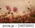 コスモス 秋桜 コスモス畑の写真 34658902