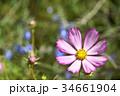 コスモス(秋桜) 34661904