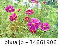コスモス(秋桜) 34661906