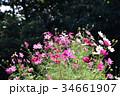 コスモス(秋桜) 34661907