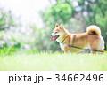 緑背景に柴犬 飼い犬 日本犬 一般的な犬 34662496