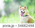 緑背景に柴犬 飼い犬 日本犬 一般的な犬 34662498