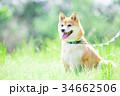 緑背景に柴犬 飼い犬 日本犬 一般的な犬 34662506