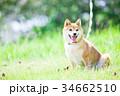 緑背景に柴犬 飼い犬 日本犬 一般的な犬 34662510