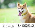 緑背景に柴犬 飼い犬 日本犬 一般的な犬 34662512