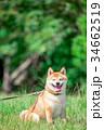緑背景に柴犬 飼い犬 日本犬 一般的な犬 34662519