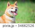 緑背景に柴犬 飼い犬 日本犬 一般的な犬 34662526