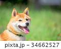緑背景に柴犬 飼い犬 日本犬 一般的な犬 34662527