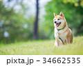 緑背景に柴犬 飼い犬 日本犬 一般的な犬 34662535