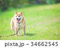 緑背景に柴犬 飼い犬 日本犬 一般的な犬 34662545