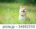 緑背景に柴犬 飼い犬 日本犬 一般的な犬 34662550
