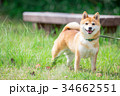緑背景に柴犬 飼い犬 日本犬 一般的な犬 34662551