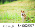 緑背景に柴犬 飼い犬 日本犬 一般的な犬 34662557