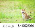 緑背景に柴犬 飼い犬 日本犬 一般的な犬 34662560