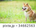 緑背景に柴犬 飼い犬 日本犬 一般的な犬 34662563