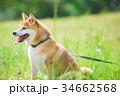 緑背景に柴犬 飼い犬 日本犬 一般的な犬 34662568