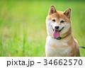緑背景に柴犬 飼い犬 日本犬 一般的な犬 34662570