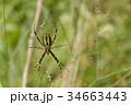 黄金蜘蛛 蜘蛛 昆虫の写真 34663443
