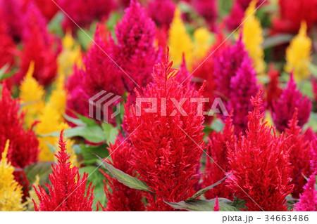 ケイトウ 花 植物 34663486