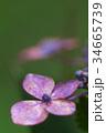 紫陽花 花 あじさいの写真 34665739