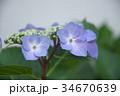 アジサイ 花 植物の写真 34670639