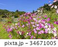 花 コスモス 秋桜の写真 34671005