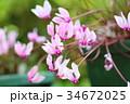 花 シクラメン グラエカムの写真 34672025