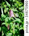 草花 ホタルブクロ 花の写真 34675960