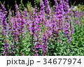 ミソハギ 花 紫色の写真 34677974