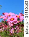 コスモス ピンク 花の写真 34680192