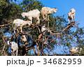 木に登るヤギ 34682959