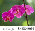 purple orchids 34684964