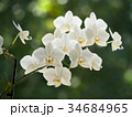 white orchids 34684965