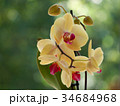 yellow orchids 34684968