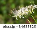 彼岸花 曼珠沙華 リコリスの写真 34685325
