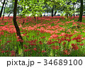 巾着田 彼岸花 秋の写真 34689100