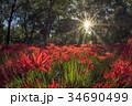 巾着田 彼岸花 曼珠沙華の写真 34690499