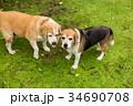 2匹のビーグル犬 34690708