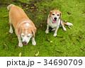 2匹のビーグル犬 34690709