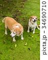 2匹のビーグル犬 34690710