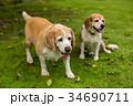 2匹のビーグル犬 34690711