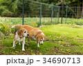 2匹のビーグル犬 34690713