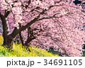 《静岡県》南伊豆町・満開の河津桜 34691105